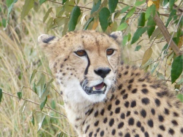 A Cheetah cub in the Masai Mara watches us drive by.