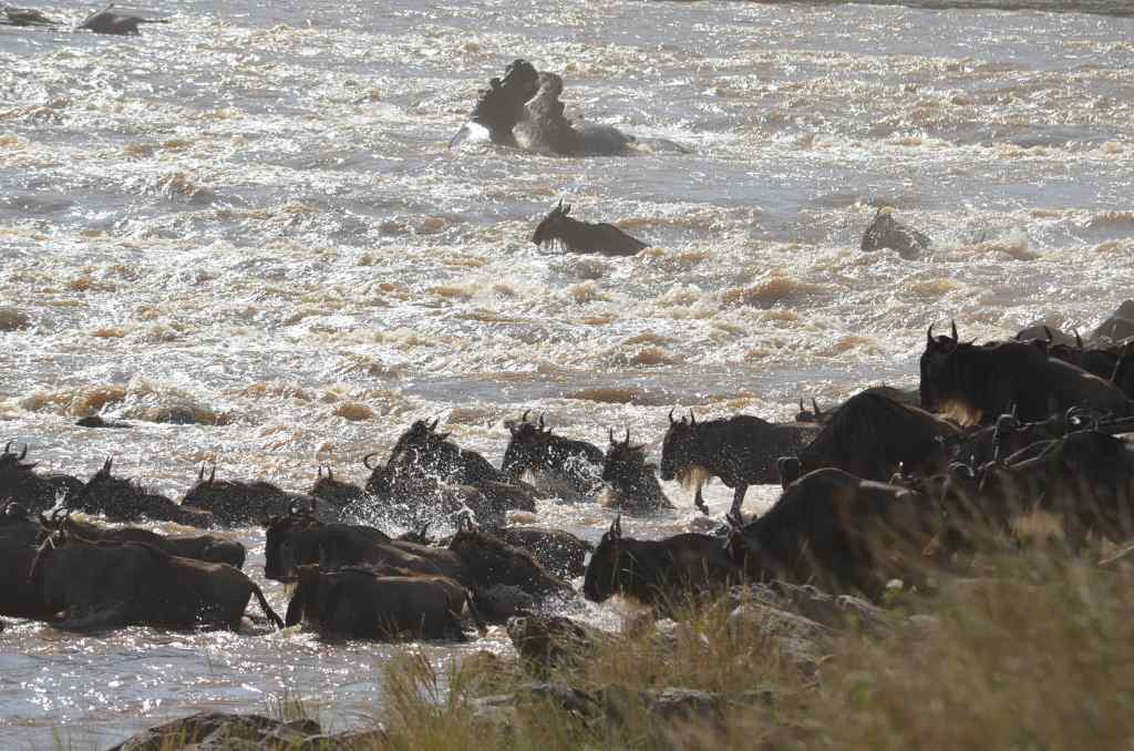 Sometimes witnessing a river crossing can be pure luck. Look closely at this scene! Our bonus was seeing two hippos having a brawl in the background!