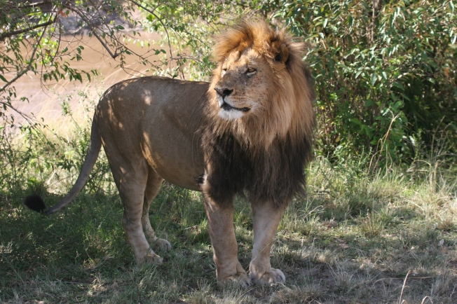 This was a HUGE lion, catching some shade near the banks of the Talek River in the Masai Mara.
