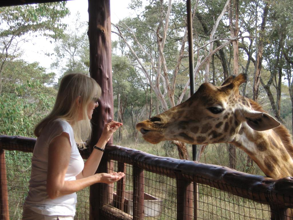 Feeding Helen the Rothschild giraffe at the Langata Giraffe Centre near Nairobi