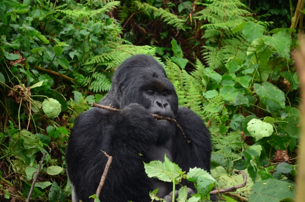 Silverback with Tasty Snack