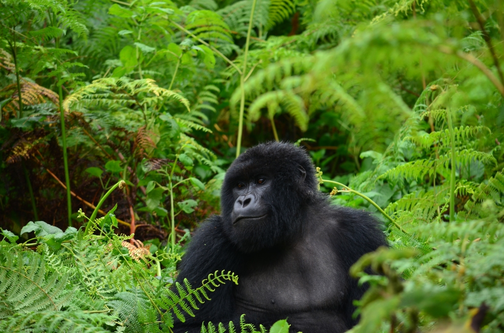 Silverback 200 kilos and 2 metres tall