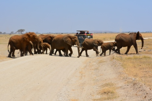Elephants crossing - Amboseli